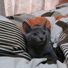 子猫(ロシアンブルー)の里親さん探してます