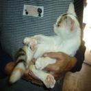 生後4ヶ月位の、白の多い三毛猫です。とても人懐こいすりスリしてく...