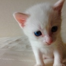 9月23日生まれの白猫の男の子