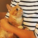 【ネコリパ子猫保育園】美猫の茶白メス、甘えん坊ラッキーは生後4カ月