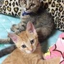 トラ猫雌2匹