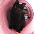 とても懐っこい黒猫ちゃん4カ月半女の子