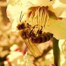 『養蜂作業助手』募集中 (アルバイトも同時募集)