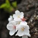 【募集終了】3/2(水)『梅を描く』小石川後楽園スケッチ