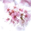 【募集終了】3/24(木)『桜を描く』中山法華経寺スケッチ