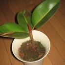 観葉植物 新芽が赤く美しい ゴムの...