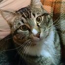 甘えん坊なキジトラ猫♂