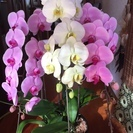 ☆訳あり胡蝶蘭(3本立て) ピンク、白、ピンク混合鉢