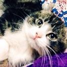 アメリカンカール子猫(雄)生後 3か月と7日
