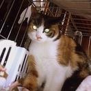 ★かわいい三毛猫の里親さん募集★
