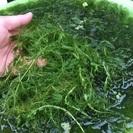 水草マツモ大量です。ラムズホーンもいます。
