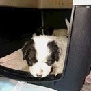 里親様決定 凄く可愛いです うしおちゃん 1か月半 MIXの子犬
