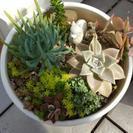 多肉植物の寄せうえ、白い鉢入り