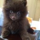 ポメラニアン♀ 3匹 2016年1月生まれ