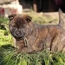 純血 甲斐犬  3月13日生まれの男の子