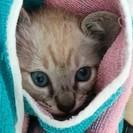 シャムMixの子猫ちゃんの里親募集!
