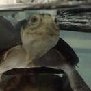 モルモット  クリイロハコヨコクビカメ すっぽん