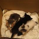 生後3週間程で保護してます、メス猫3匹の里親募集中