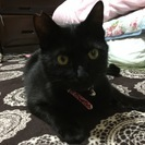 シャープでイケニャンな黒猫(1歳)の里親さん募集