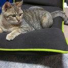 里親募集・猫・キジトラ・♂・およそ1歳