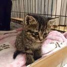 生後1ヶ月弱のキジトラの男の子