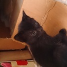 生後約1ヶ月の子猫です(黒)