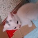 生後約1ヶ月の子猫です(白/頭に黒の模様あり)