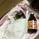 【里親決定】生後1ヶ月 子猫 里親様募集