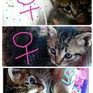 子猫の里親募集です。