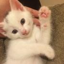 生後一ヶ月半の子猫です。