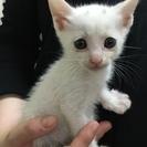 ミルクちゃん 1ヵ月半くらいの子猫です