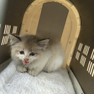生後1.2ヶ月の仔猫ちゃん