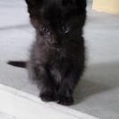 【多数お問い合わせをありがとうございました】元気な黒猫の子猫くん