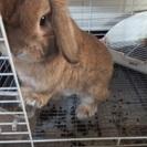 ホーランドロップウサギ