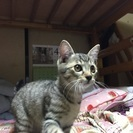 生後3カ月の子猫のオスの里親募集
