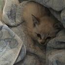 急募!!!生後1ヶ月くらいの子猫
