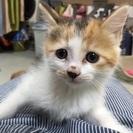 生後2ヶ月の三毛猫の女の子