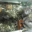 ミドリガメ 3匹の里親募集しています。1匹からお譲り可能です。 >...