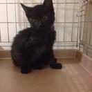 かわいい黒ちゃん 約1.5ヶ月
