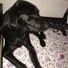 オス ラブ&甲斐犬のmix
