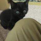 【譲渡済】5/6生まれ オスの子猫 トイレ完璧&離乳食OK - 真岡市