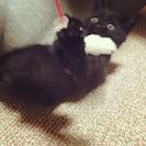 【譲渡済】5/6生まれ オスの子猫 トイレ完璧&離乳食OK − 栃木県
