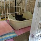 【譲渡済】5/6生まれ オスの子猫 トイレ完璧&離乳食OK - 里親募集