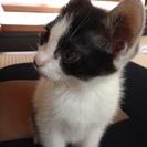 仔猫里親募集します。メス猫。白黒。トイレOK。人なれしてます。 2...