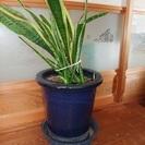 観葉植物 / トラノオ / サンスベリア / 鉢植え / インテリア