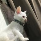 里親募集。生後2カ月くらい白ネコ男の子です。