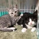 美猫 兄妹 約2ヶ月