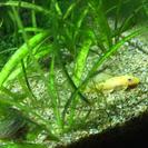 まだまだいますミニブッシープレコ幼魚6匹セット