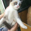 4月末生まれ、シャム系子猫2匹の里親募集です。