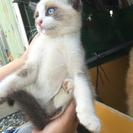 4月末生まれ、シャム系子猫2匹の里親募集です。 - 八幡平市